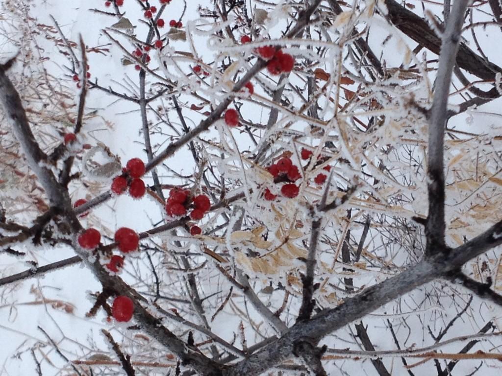 Buffaloberry Dec 6 2014 (2)