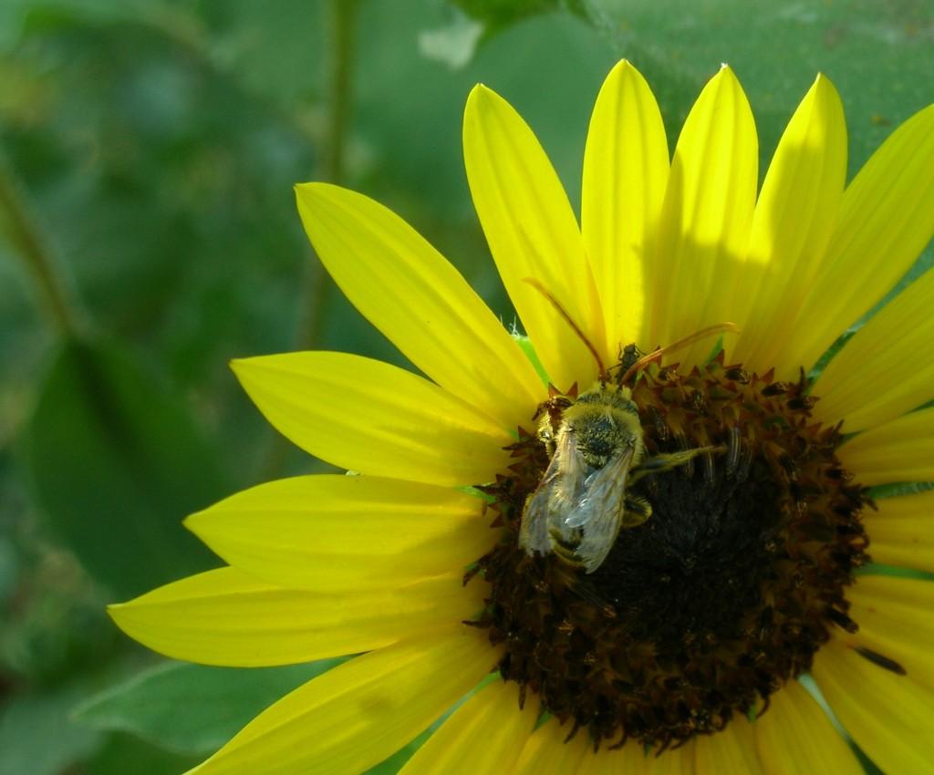 Beautiful bee in native flower garden